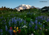 """Mt Rainier's Paradise"""
