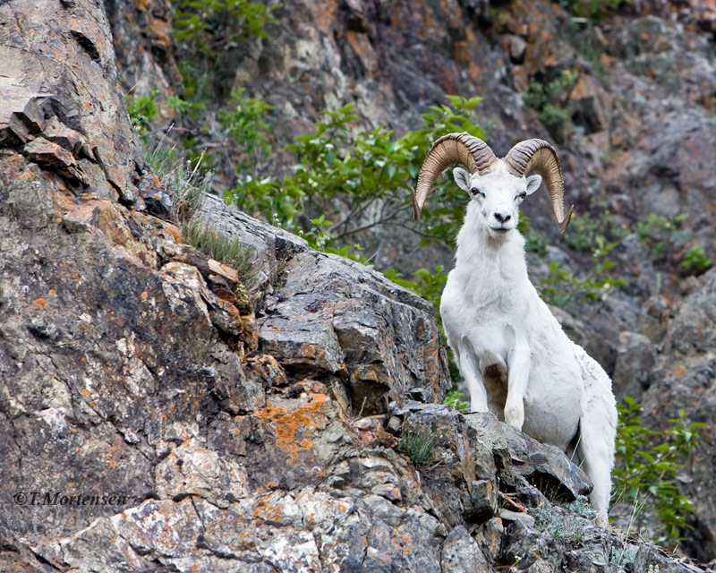 Mountain Goat heads back up the step rock cliffs after coming down for a look.