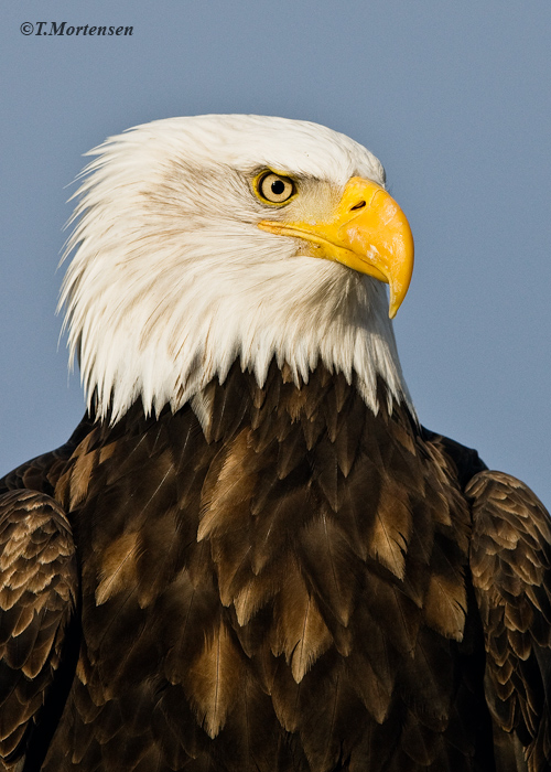 """Captured an American Bald Eagle at Jean Keen's residence who was know as the the """"Eagle Lady."""""""