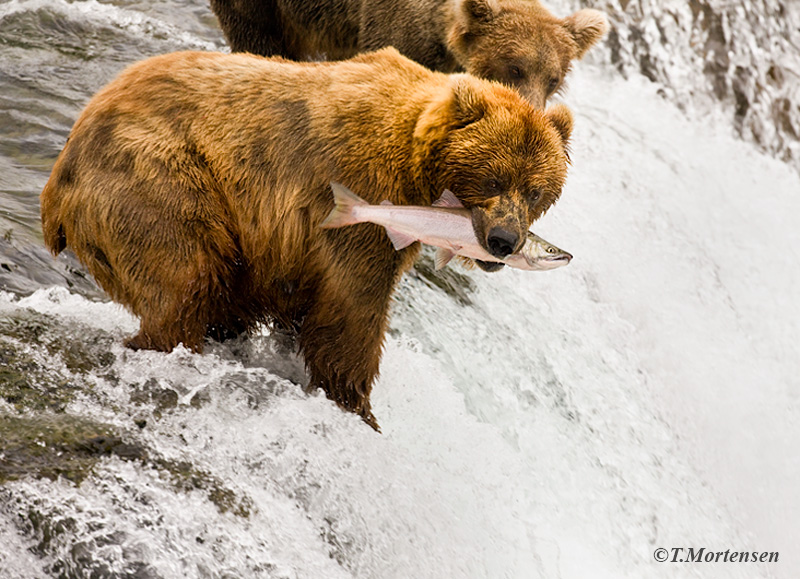 Brown Bear decided to turn and show off his catch of the day.