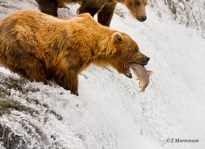 Brown Bears catching salmon at Brooks Falls and the one that did not get away.