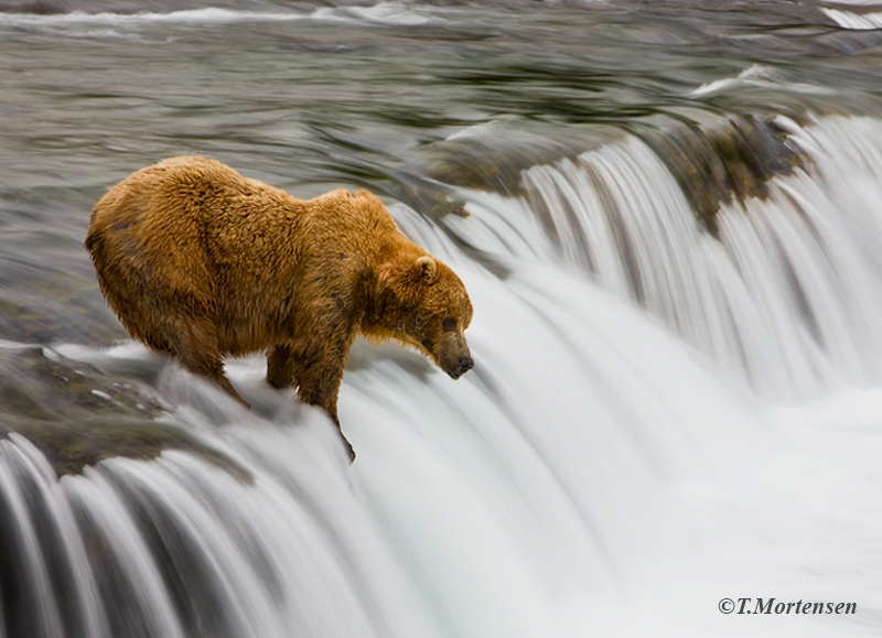 Brown Bear at Brooks Falls waiting for the next salmon.