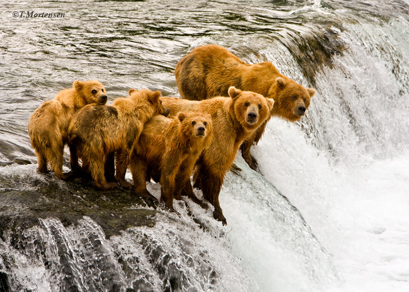 Mama & Papa Bear bring their three cubs to the falls for a lesson in catching salmon.