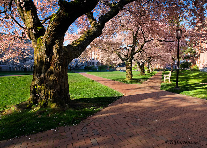 Cherry Blossoms at full bloom on the campus of the University of Washington.
