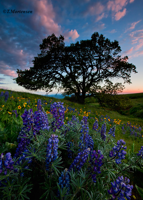 Wildflowers at peak in the Columbia Hills after a fresh spring rain at sunset.