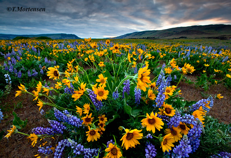 A field of Lupine and Balsamroot wildflowers as far as the eye will see.