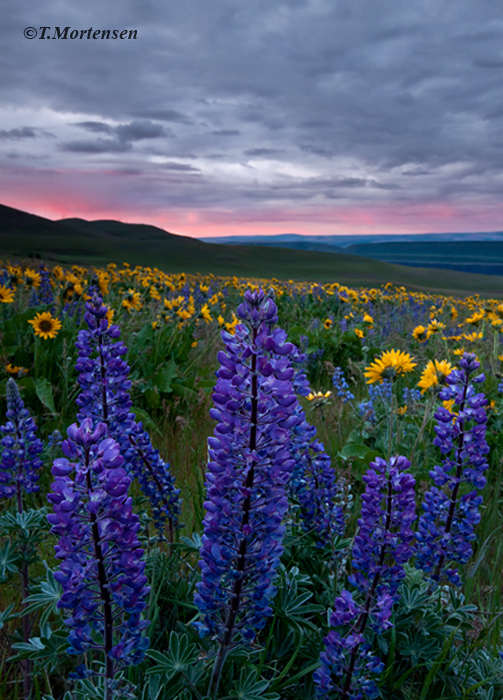 Catching first light at sunrise in the Columbia Hills with rain in the distance.