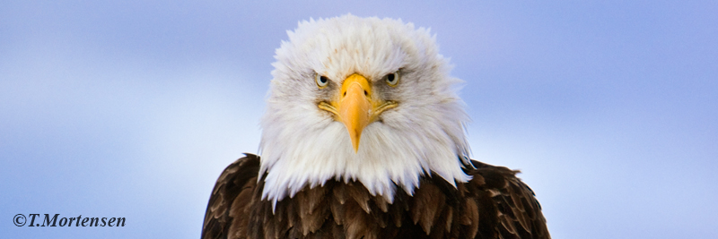 Focused effort of this American Bald Eagle keeping a close eye on his territory.