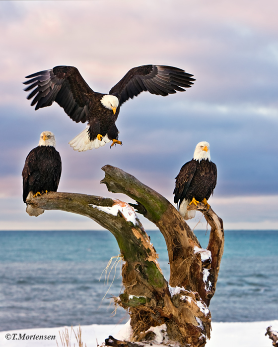 Bald Eagle comes in for a landing while the other two keep guard.
