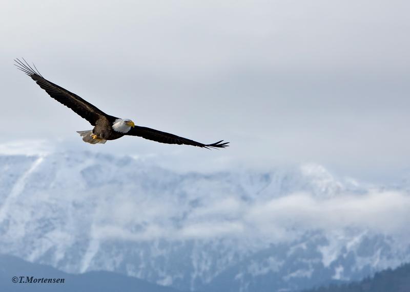 On the peninsula of Homer, Alaska as an American Bald Eagle soars around the majestic mountain range.