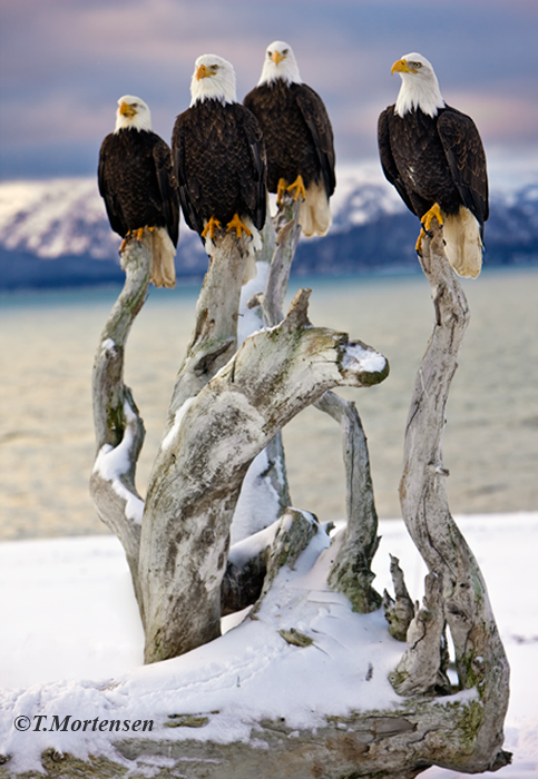 Four Bald Eagles take a rest after eating salmon on this cold winter morning.