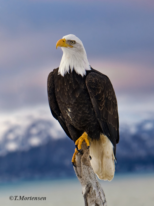 American Bald Eagle stands guard while other feast on salmon.