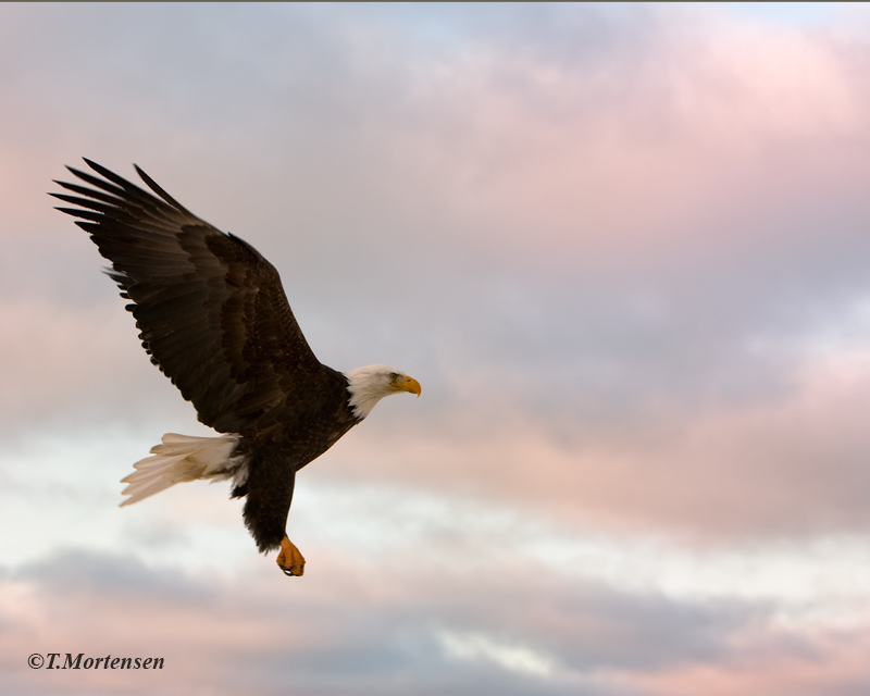 Bald Eagle taking flight at sunrise after feeding on salmon.
