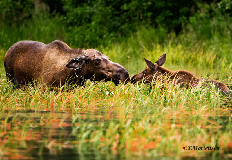 Fishing for salmon on the Kenai River as Mama Moose focused in on her calf.