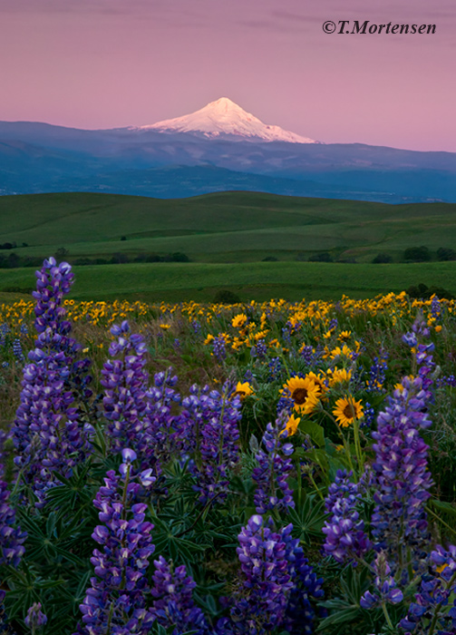 Over 50 miles away Mt Hood, Oregon can be seen on a clear morning among a field of wildflowers.
