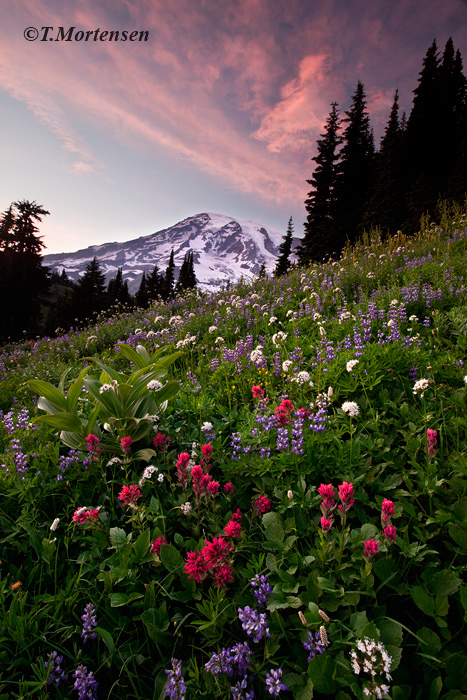 Wildflowers along the trail head leading up to Mount Rainier at Sunset.