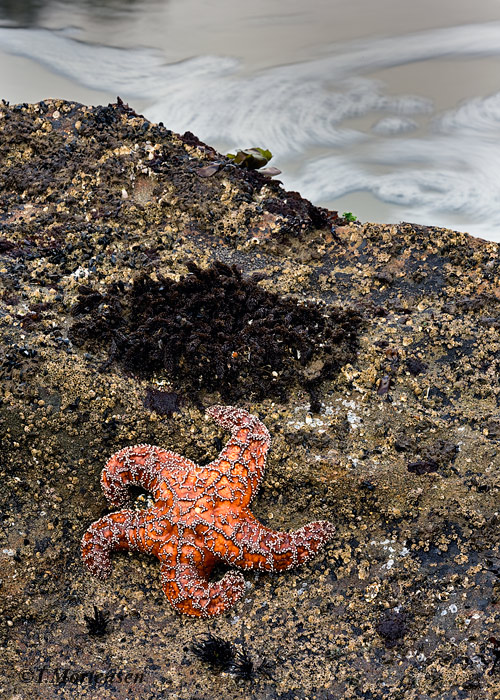 Low tide reveals a Star Fish among the coral covered rocks.