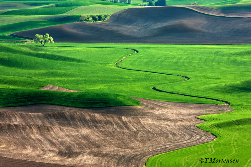 Spring fields of the Palouse lead to a lone tree.