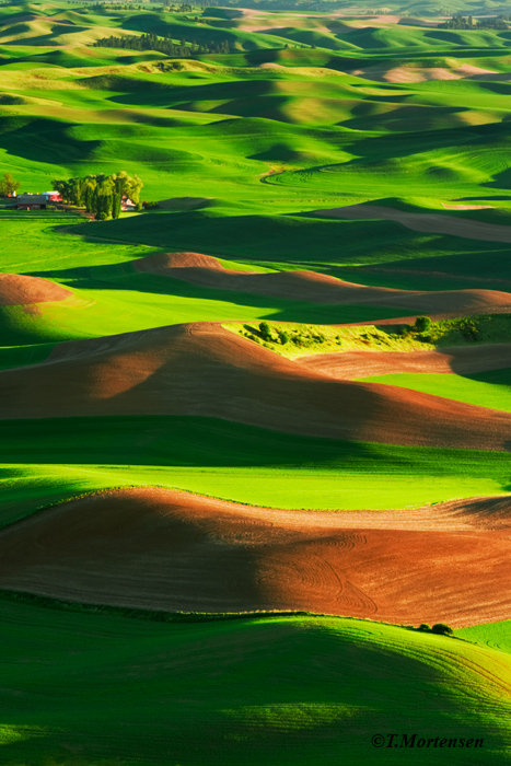 Rolling hills of spring wheat in the heart of the Palouse.