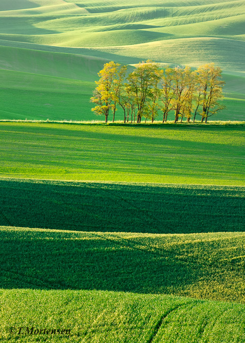 Rolling hills of spring wheat in the Palouse make for a peaceful setting off the beaten path.