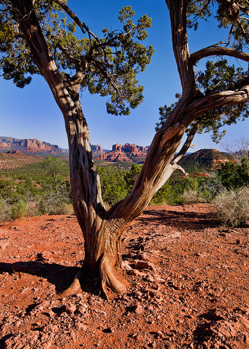 Cathedral Rock as seen between a twisted tree near the Oak Creek Canyon.